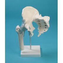 Άρθρωση ισχίου με το ιερό οστό και τους συνδέσμους, σε βάση